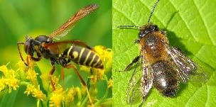 wasps honeybees and hornets